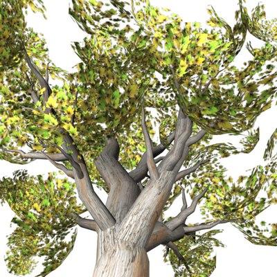 maya maple tree