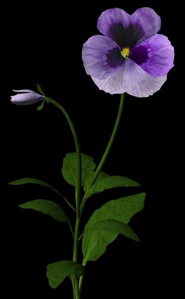 flower purple pansy 3d ma