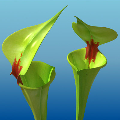 3d model yellow pitcher plant