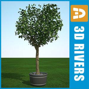 summer cedar elm 3d model