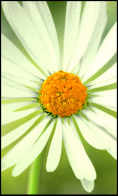 maya daisy flower