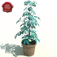 shefflera actinophylla v2 3d c4d