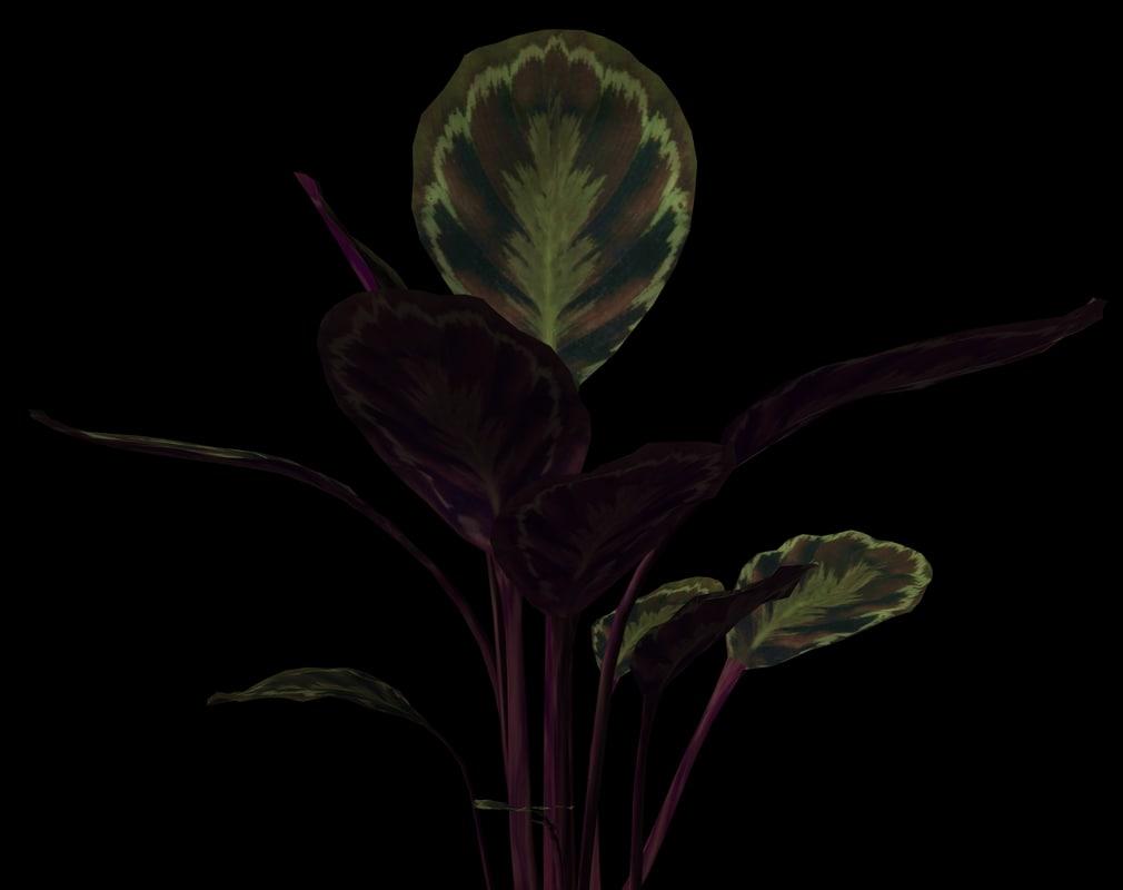 ma plant calathea