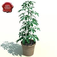 shefflera actinophylla 3d model