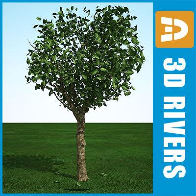 3d summer cedar elm model
