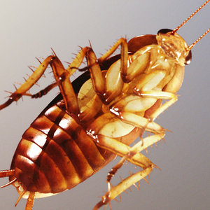 photorealistic american cockroach 3d model