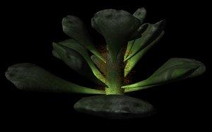ma cactus adromischus cristatus