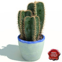 Cereus cactus 3D models