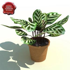 calathea makoyana peacock plant 3d model