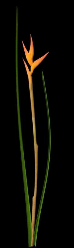 maya plant heliconia