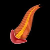 spriggina ediacaran curve 3d model