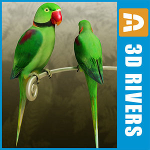 max alexandrine parakeet birds parrots