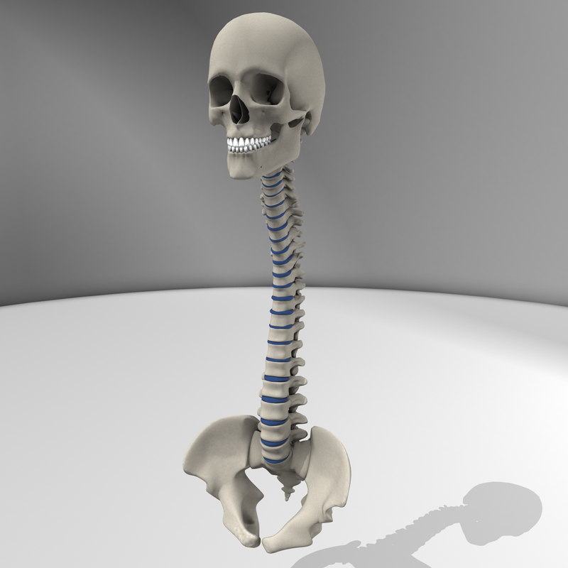 3d model skull spine