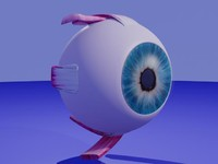 3ds max eye muscles sclera