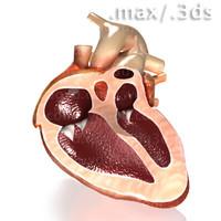 Heart w-interior.max