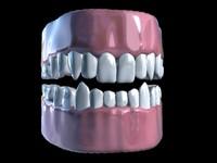 3d model human teeth