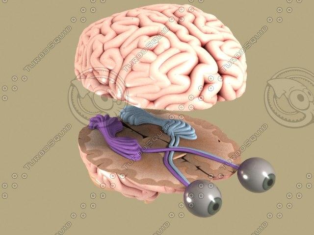 human brain eyes 3d model