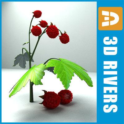 maya raspberry berries