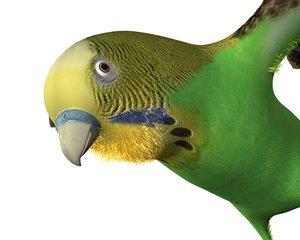 bird canary max
