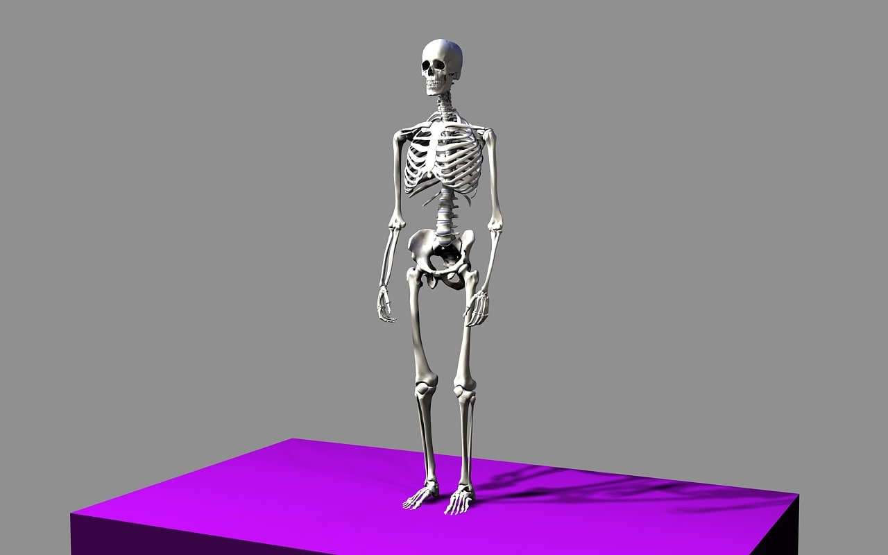 max skeleton - human male