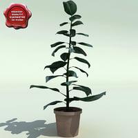 Ficus benghalensis V2