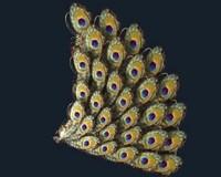 maya peacock tail