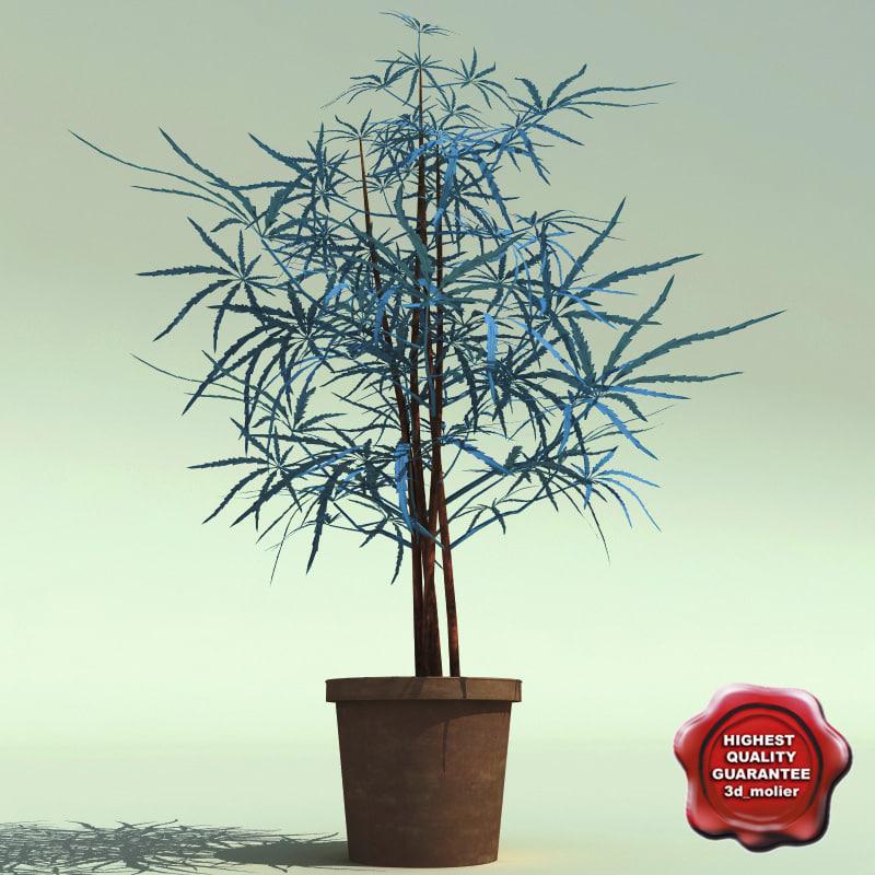 dizygotheca elegantissima 3d model
