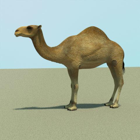 3d model african camel