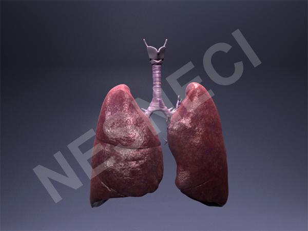 lungs trachea 3d obj