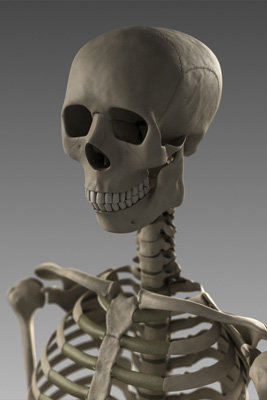 3d model anatomy skeleton