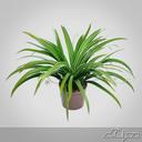 Chlorophytum Plant in Pot
