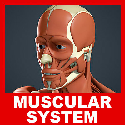 3d medically muscular skeleton model