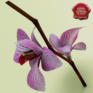 phalaenopsis orchid c4d