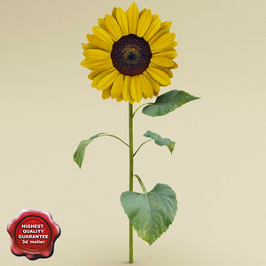 sunflower modelled c4d