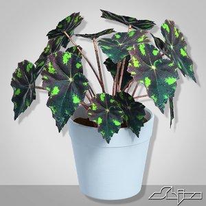 begonia houseplant 3d max