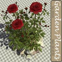 garden rose plants 004 3d max