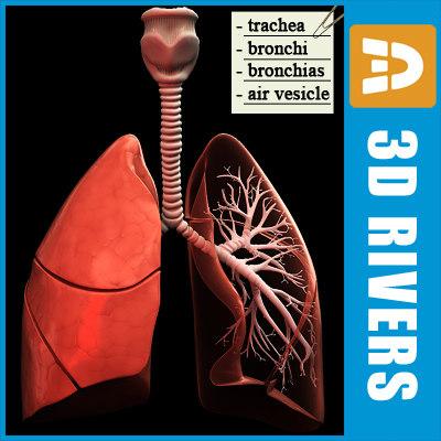3d human lungs
