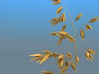 3d model of oats