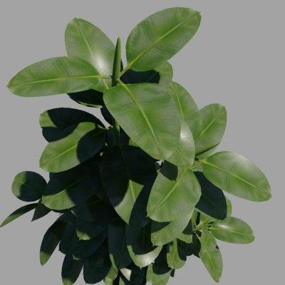 3d model ficus trees