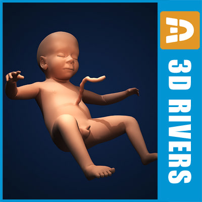 fetus embryo development 3d model