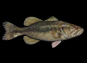 3d largemouth bass model