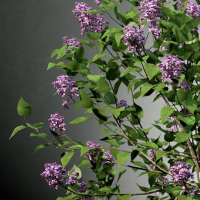 shrubs lilac 3d model