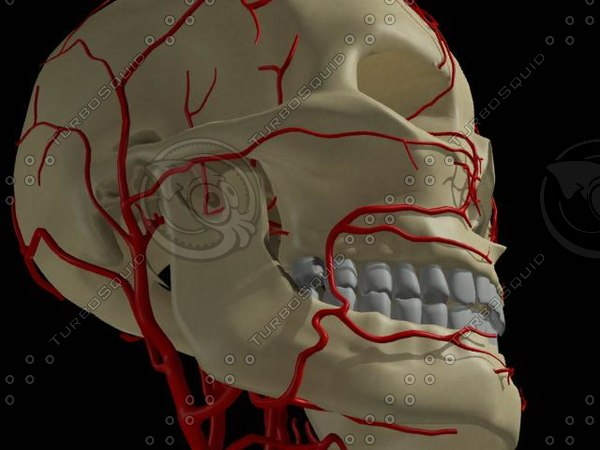 3d model skull arteries