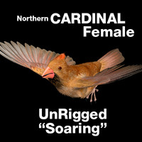 Cardinal - Female: in soaring position