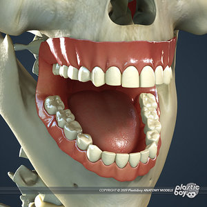 dental teeth gums skull 3d model