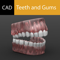 gums tooth teeth 3d model