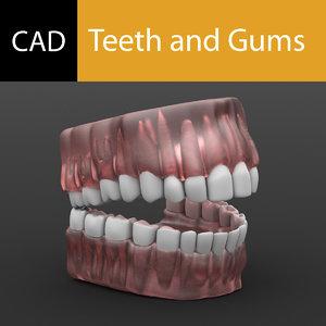 gums tooth teeth 3d model