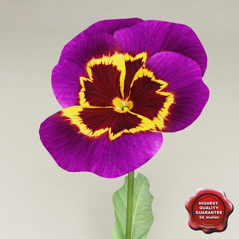 3d model pansy purple