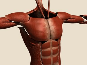 muscles human body 3d dxf