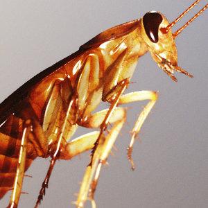 photorealistic cockroach 3d model